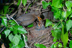 Common blackbird female at nest feeding chicks Stock Photography