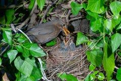 Common blackbird female at nest feeding chicks. Common blackbird (Turdus merula) female at nest feeding chicks Stock Photography