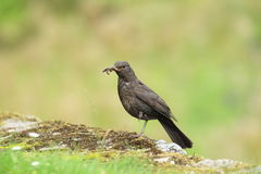 Common blackbird Stock Photos