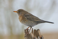 Common Blackbird female Stock Images