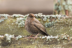 Common blackbird female, turdus merula. Bird sitting on an old fence Royalty Free Stock Images