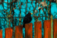 Common blackbird on a fence. Common blackbird on a orange fence Stock Photography