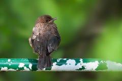 Common blackbird fledgeling. A common blackbird fledgeling sitting on a house's railing Stock Photo