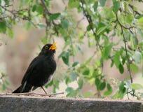 Common Blackbird in the Garden royalty free stock photo