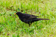 Common Blackbird Royalty Free Stock Photos