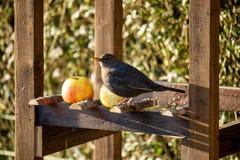 Free Common Blackbird In Bird Feeder Stock Images - 169372214