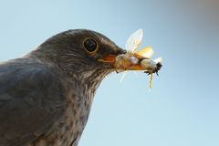 Common Blackbird with Insects Royalty Free Stock Images