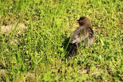 Common blackbird juvenile Royalty Free Stock Photos