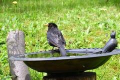 Common Blackbird Royalty Free Stock Photo