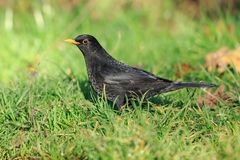 A Common blackbird male on the ground stock images