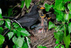 Common blackbird male at nest feeding chicks. Common blackbird (Turdus merula) male at nest feeding chicks stock photo