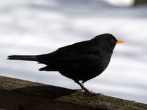 Common Blackbird. A Common Blackbird (male) sat on a wooden fence Royalty Free Stock Photos