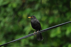 Common blackbird male (Turdus merula). Perched on the electric line Stock Images