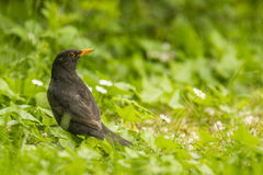 Common Blackbird portrait Royalty Free Stock Photos