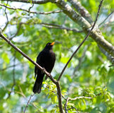 Common Blackbird singing Stock Photo