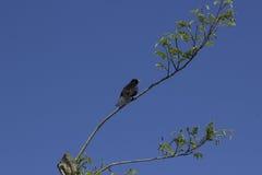 Common Blackbird Stock Photos