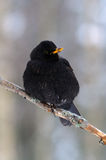 Common blackbird Royalty Free Stock Photo