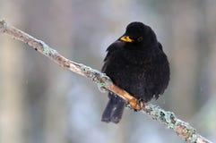 Common blackbird Stock Images