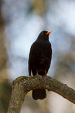 Common blackbird sitting on a branch Royalty Free Stock Photo