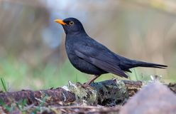 Common blackbird posing on old birch stick near the forest ground royalty free stock photography