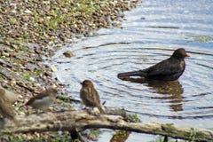 Common Blackbird Royalty Free Stock Photos