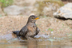 Common blackbird taking bath Stock Images