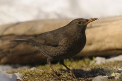 Common Blackbird, Turdus merula Stock Images