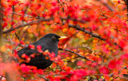 Common Blackbird (Turdus merula). Common Blackbird in color bush Stock Photo