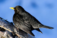 Common Blackbird (Turdus merula) Stock Image