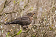The common blackbird - Turdus merula. On the autumn brench Royalty Free Stock Image