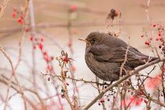 The common blackbird - Turdus merula. On the autumn brench Royalty Free Stock Photos