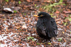 The common blackbird - Turdus merula Stock Image