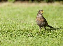Common blackbird Turdus merula Stock Photo
