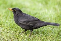 Common blackbird Turdus merula Royalty Free Stock Photography