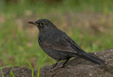 Common blackbird (Turdus merula) Stock Photos