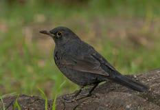 Common blackbird (Turdus merula) Stock Photos