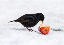 Common Blackbird - Turdus merula eating an apple. A male Common Blackbird - Turdus merula eating an apple on a snow covered garden lawn in Worcestershire royalty free stock photos