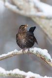 Common Blackbird (Turdus merula) Stock Images