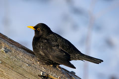 Common Blackbird (Turdus merula) - Koltrast Stock Photos