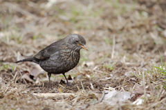 Common Blackbird (Turdus merula). Stock Images