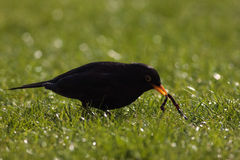 Common blackbird Royalty Free Stock Photography