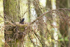 The common blackbird - Turdus merula. In the nes with eggs on the tree Royalty Free Stock Photography