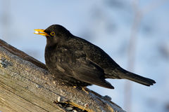 Common Blackbird (Turdus merula) with a peanut in the beak Stock Images