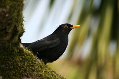 A Common Blackbird (Turdus merula) perched on a moss-covered tre Royalty Free Stock Image