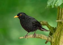 Common Blackbird - Turdus merula at rest. A Common Blackbird - Turdus merula standing on an old tree branch in a Warwickshire woodland royalty free stock photography