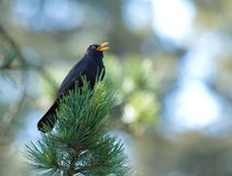 Common blackbird (turdus merula) singing Stock Photography