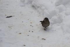 Common blackbird, turdus merula. Common blackbird on snow, turdus merula Royalty Free Stock Photo