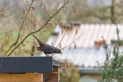 Common blackbird turdus merula is staying on the garden shed stock photos