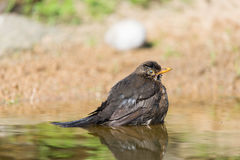 Common blackbird in water Royalty Free Stock Image