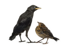 Common Blackbird and Western Jackdaw, isolated Royalty Free Stock Images